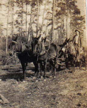 Great Grandfather Luther Grubbs' mules In Front - Coaly on left, Red on right